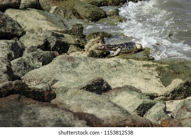 Medium size warrant lizard getting out from the sea toward warm rocks of Penang shore