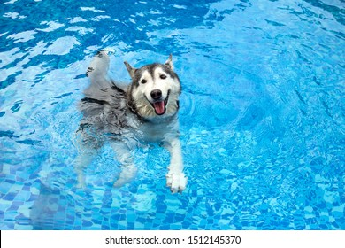 A medium size working dog breed, Siberian husky is swimming in the pool with smiling face. Water therapy for pets recovering from surgery, arthritis issues, and dogs with most types of paralysis.