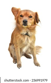 A medium size young mixed breed golden color dog sitting and looking forward, isolated on white