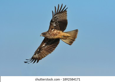 A medium sized bird Male and female have the same characteristics. The body is dark brown and yellow both above and below. Dark brown wings The tail is shallow, the mouth is short, sharp and black.