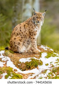 The medium sized Eurasian lynx (Lynx lynx) is native to Siberia, Central, East, and Southern Asia, North, Central and Eastern Europe. Resting in winter landscape and looking sideways