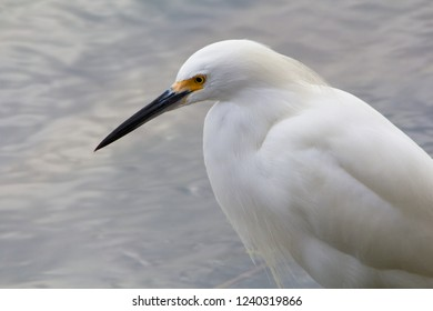 Medium sized white snowy egret with a black slender bill. long thin necks, black legs and yellow feet.  Breeding adult. Wade in shallow water waiting to spear fish. Concentrate in wetlands beaches