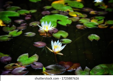 Medium-sized water lily with pads from 15 to 20 cm and 10 cm flowers.