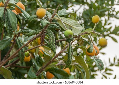 Medlars on medlar tree