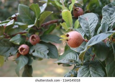 Medlars in a tree