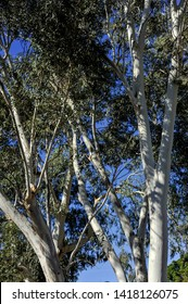 Medley of Very tall ghost gums standing in front of a blue sky. Vertical aspect ghost gums in day light.