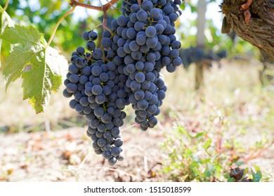 medoc ripe Purple Grapes grapevine in Bordeaux vinery