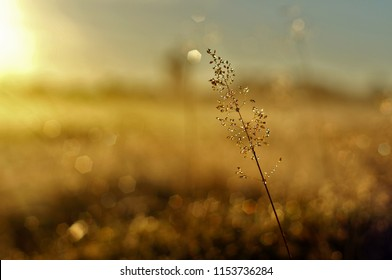Medow Grass in the sunrise
