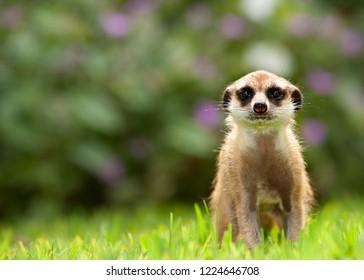 Meercat Meerkat upclose,