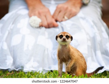 Meercat Meerkat upclose, in front of a lady in a white dress