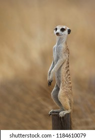 Meercat in the wild, Kalahari Desert, South Africa.