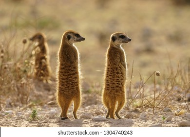 Meercats standing on watch with backlight at dusk in Central Kalahari Game Reserve Botswana