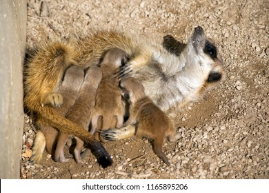 the meerkat 9 day old babies are feeding milk from the mother meerkat