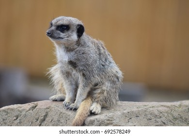 Meerkat - always alert