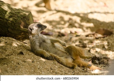A Meerkat basks in the sun