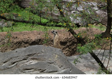 Meerkat behind rocks