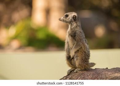 Meerkat closeup standing