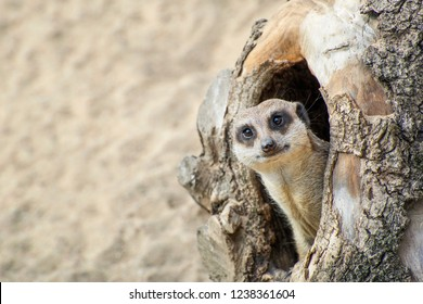 Meerkat coming out of his hole in old wood.