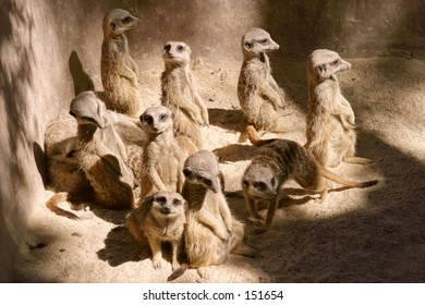 A meerkat conference...
