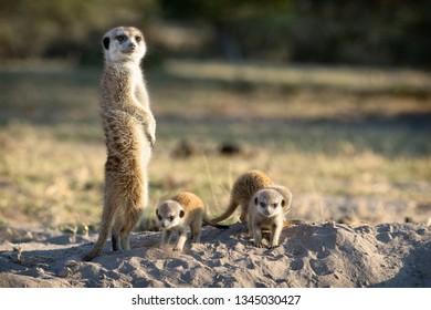 Meerkat family in Botswana.