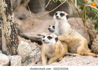 Meerkat family are living in cave sand