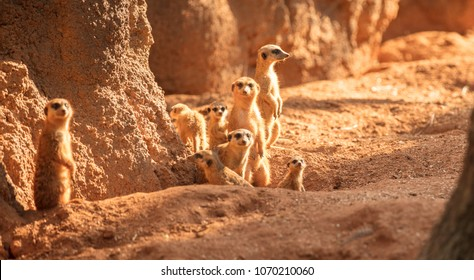 meerkat family is looking at you