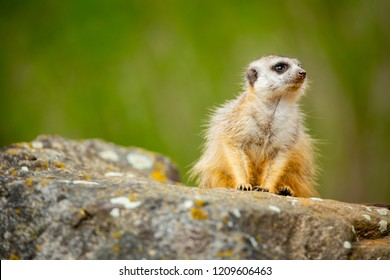 Meerkat family member (Suricata suricatta) on the guard. Closeup photograph with space for text