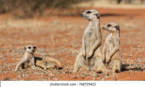 Meerkat family (Suricata suricatta), Kalahari desert, Namibia