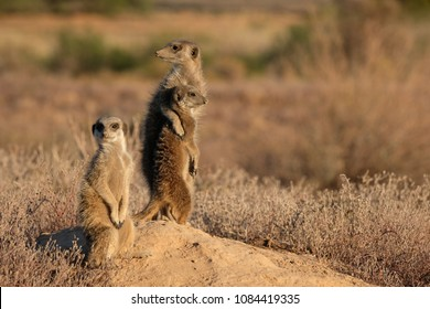 Meerkat friends hugging each other and showing love