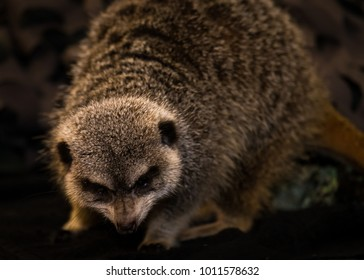 Meerkat, isolated, close up.