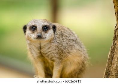 A Meerkat keeps an eye out
