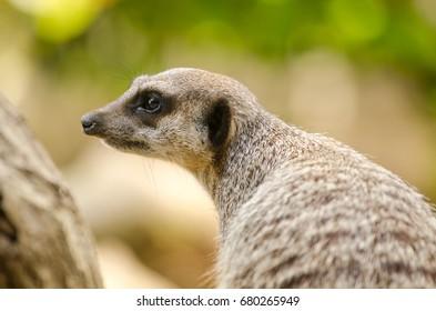 A Meerkat keeps watch