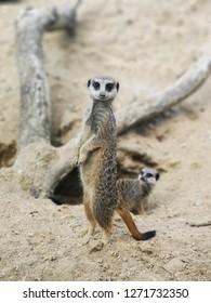 Meerkat at Longleat