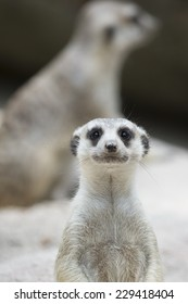 Meerkat looking ahead with another in the background