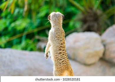 A Meerkat Looking Away