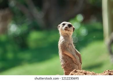 Meerkat looks away sitting
