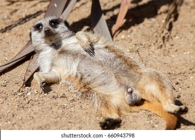 Meerkat misfit. Funny animal meme picture of a delinquent meerkat avoiding sentry duty. This lazy laid-back creature appears to have just snorted something.