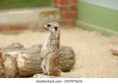 Meerkat on Duty in Shelter on Isle of Wight