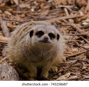 A meerkat on the ground, blending into it surroundings