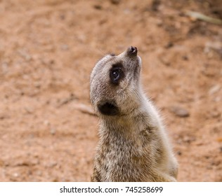 A meerkat on the ground, standing upright