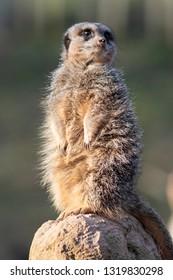 Meerkat on lookout at west midlands safari park