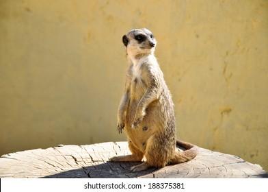 The meerkat on a stub in Friguia park. Tunisia.