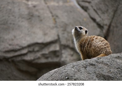 Meerkat on top of the rock