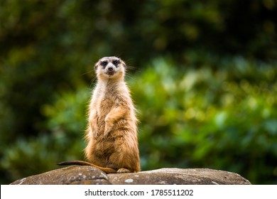 meerkat on the waiting in nature