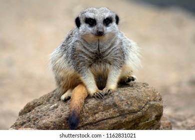 Meerkat, on watch