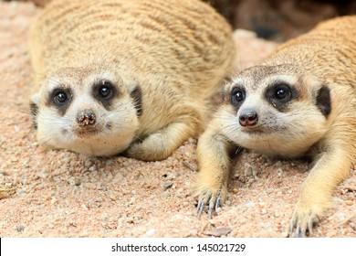 Meerkat is open Zoo Khao Kheow, Thailand.