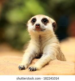 Meerkat in open zoo of Thailand (selective Focus)