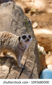 Meerkat peeking from a large log on the ground