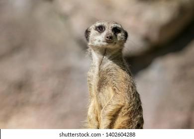 Meerkat portrait looking very bored