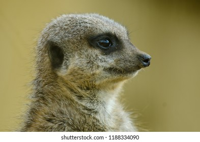 A meerkat in profile